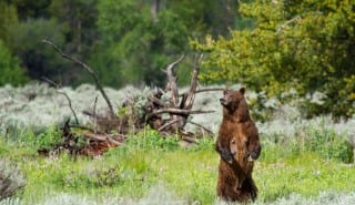 grizzly bear mother standing looking left, dead wood and forest in background
