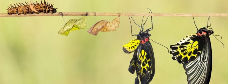 caterpillar pupa butterfly