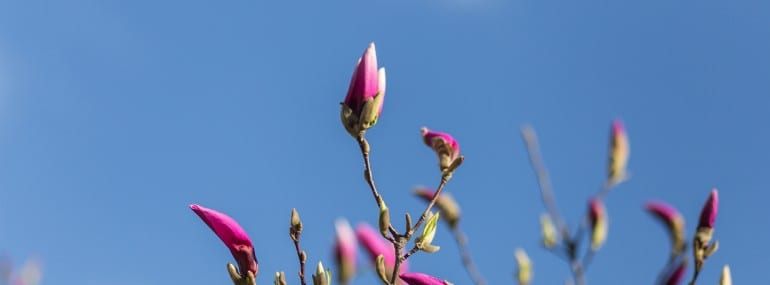 The buds of a blooming pink magnolia