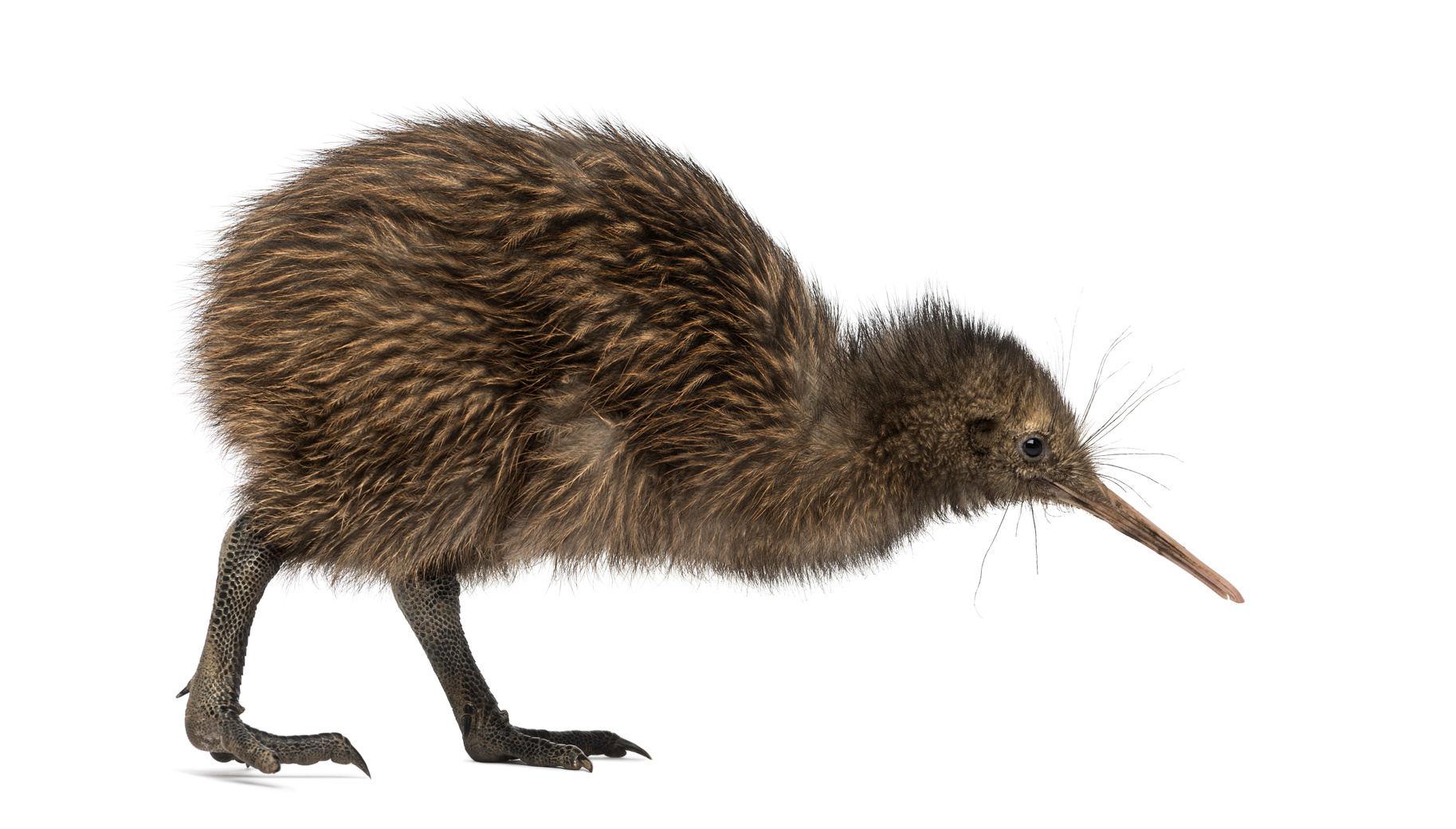 kiwi bird – Telecoms.com